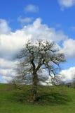The Springtime Oak Royalty Free Stock Photography