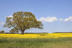 Springtime oak tree Royalty Free Stock Image