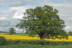 Springtime oak tree and canola fields in the British countryside. Royalty Free Stock Image