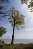 Springtime Oak Tree. View from springtime forest with an oak tree in front of the sea. Little Belt, Fredericia, Denmark Stock Image