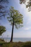 Springtime Oak Tree Stock Image