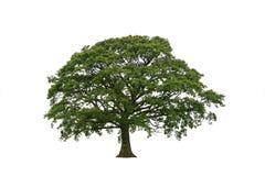 Springtime Oak on White