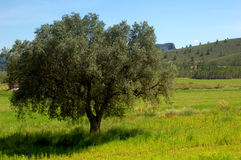 Springtime: old olive tree and wildflowers Stock Photos
