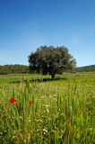 Springtime: old olive tree and wildflowers Royalty Free Stock Image