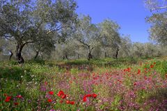 Springtime. Olive trees and flowers. Stock Image
