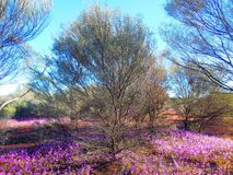 Springtime in the Outback. This patch of purple wildflowers was encountered after a day on the road Royalty Free Stock Image
