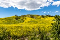 Springtime Panorama of Santa Monica Mountains showing a profusion of wild mustard. A profusion of wild mustard covers areas that had been burned in recent stock image