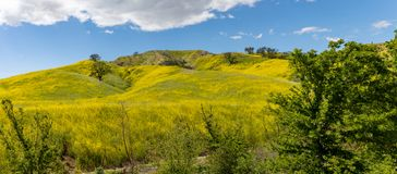 Springtime Panorama of Santa Monica Mountains showing a profusion of wild mustard. A profusion of wild mustard covers areas that had been burned in recent stock photo