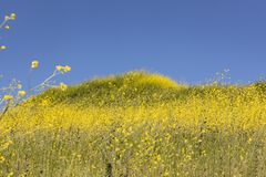 Springtime Panorama of Santa Monica Mountains showing a profusion of wild mustard. A profusion of wild mustard covers areas that had been burned in recent stock photos