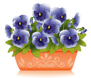 Springtime Pansies. Sky blue Pansies growing in a rectangular terracotta flower pot with embossed floral designs Royalty Free Stock Photo