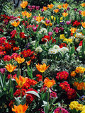 Springtime in Paris. Bright, colourful tulips in bloom Stock Image