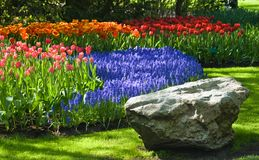 Springtime in park. Spring time in park with blooming tulips and common grape hyacinth Royalty Free Stock Images