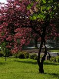 Springtime in the park. Cherry tree in the park Stock Images
