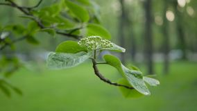 Springtime park in the evening. Young leaves on the branches of trees stock video footage