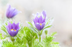 Springtime pasque-flowers Royalty Free Stock Images
