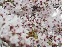 Cherry Blossoms in New Zealand. Springtime is the perfect for viewing blooming cherry blossoms in New Zealand Royalty Free Stock Photos
