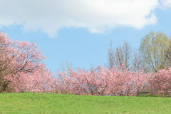 Springtime pink flowering apple trees in blooming nature sunshine landscape. With green meadow royalty free stock images