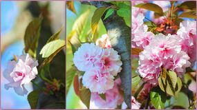 Springtime pink japanese cherry tree flowers Stock Photography
