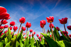 Springtime pink tulips blossom on the Netherlands farm Royalty Free Stock Photos