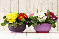 Springtime, Primroses in flowers pots on wooden white b Stock Photography