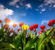 Springtime red and yellow tulips blossom on the Netherlands farm Royalty Free Stock Photos