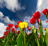 Springtime red and yellow tulips blossom on the Netherlands farm Royalty Free Stock Images