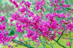 Springtime. Redbud tree flowers Stock Images