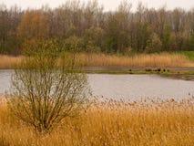 Springtime reeds Royalty Free Stock Image