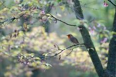 Springtime Robin Royalty Free Stock Image