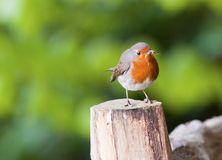 Springtime Robin Royalty Free Stock Photos
