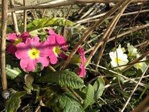 Springtime's wild primroses Royalty Free Stock Image