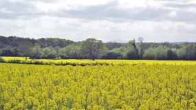 Springtime scenery with canola crops in the English countryside. A summertime agricultural scene in the English countryside of the United Kingdom Royalty Free Stock Photos