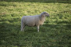 Sheep in the meadow on a sunny day Royalty Free Stock Image