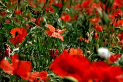 Springtime in Southern France Aglow with Red Poppies Stock Image