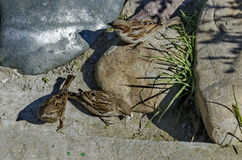 During the springtime sparrows find food toward small lake Royalty Free Stock Photos