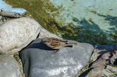 During the springtime sparrows find food toward small lake Stock Photos