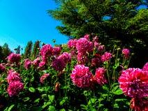 Springtime. The Spring  Dahlia of the Garden Royalty Free Stock Photos