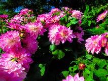 Springtime. The Spring  Dahlia of the Garden Stock Photos