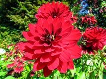Springtime. The Spring  Dahlia of the Garden Stock Image
