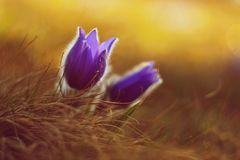 Springtime and spring flower. Beautiful purple little furry pasque-flower. Pulsatilla grandis Blooming on spring meadow at the s. Unset royalty free stock photo