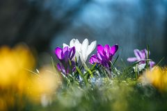 Springtime. Spring flowers in sunlight, outdoor nature. Wild crocus, postcard. Spring flowers in the wild nature. Crocus in spring time. Copy space, ideal for stock image