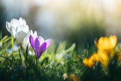 Springtime. Spring flowers in sunlight, outdoor nature. Wild crocus, postcard. Spring flowers in the wild nature. Crocus in spring time. Copy space, ideal for royalty free stock images