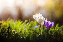 Springtime. Spring flowers in sunlight, outdoor nature. Wild crocus, postcard. Spring flowers in the wild nature. Crocus in spring time. Copy space, ideal for royalty free stock photos