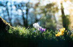 Springtime. Spring flowers in sunlight, outdoor nature. Wild crocus, postcard. Spring flowers in the wild nature. Crocus in spring time. Copy space, ideal for royalty free stock image