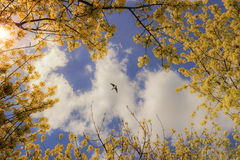 SPRINGTIME.Spring sky: swallow flying between flowering branches.ITALY Stock Images