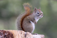 Springtime Squirrel Royalty Free Stock Photo