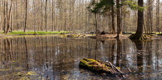 Springtime stand of Bialowieza Forest in sun Stock Photo