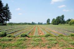 Springtime Strawberry Field Stock Photo