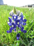 Springtime in Suburbia. Texan bluebonnet stands in the foreground of a suburban neighborhood Stock Photo