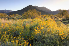 Springtime Sunrise in the Sonoran Desert. Sunrise lights mountains, cacti and blooming wildflowers in the McDowell Sonoran Preserve in Scottsdale, Arizona stock image